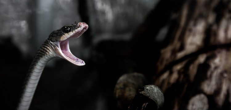 A serpent ready to strike what it is in its reach